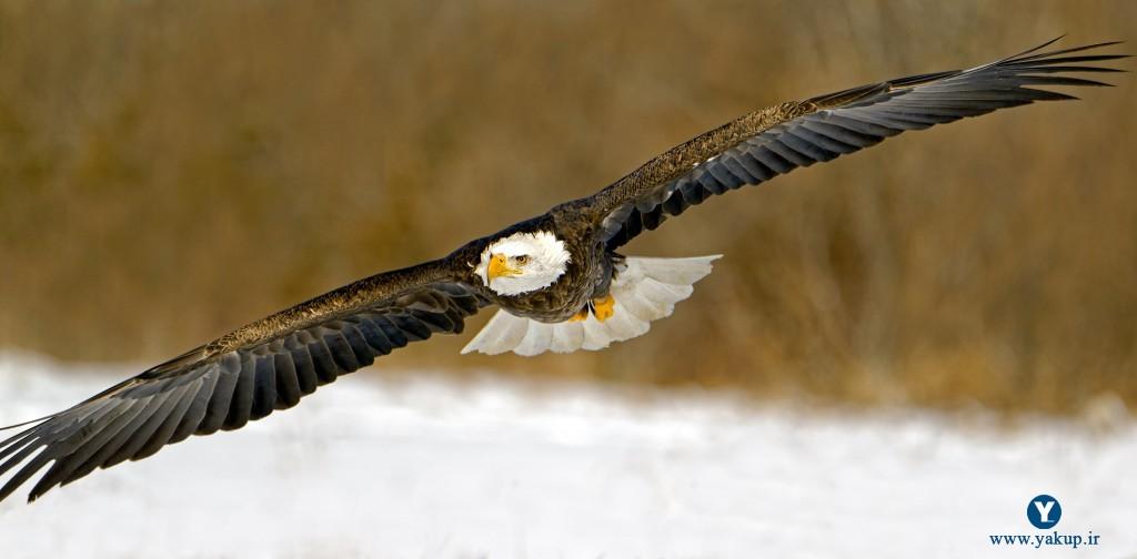 والپیپر انگیزشی عقاب